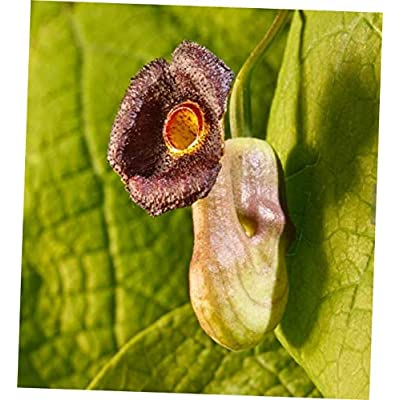 "DVAA 2.5"" Pot Hardy Dutchman's Pipe Vine - Aristolochia durior - RK107 : Garden & Outdoor"
