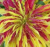 Amaranthus Tricolor Perfecta 100 seeds Eye catching Showy E48