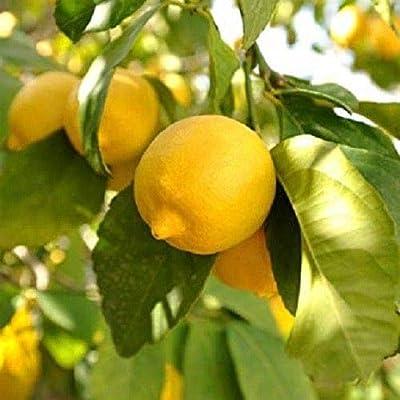 Meyer Lemon Tree 20 Seeds : Garden & Outdoor