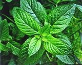 Peppermint * Bulk 1000 Seeds * Herb * Medicinal * Seasoning *