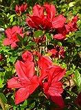 Azalea Rhododendron 'Cornado Red' Qty 40 Live Flowering Evergreen Plants