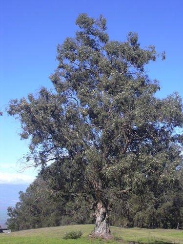 25 Tasmanian Blue Gum Tree/Eucalyptus Globulus Flower Seeds