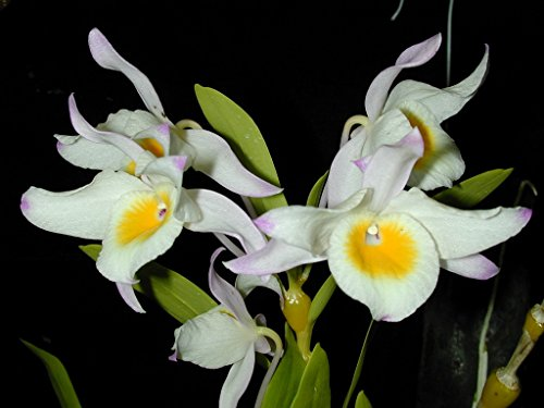 Dendrobium findlayanum - Orchid Plant - Fragrant - indigenous to Thailand (Dendrobium Orchid Care)