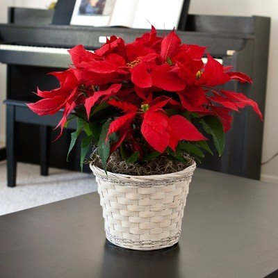 Red Poinsettia plant in white rattan basket. Gift wrapped for free!