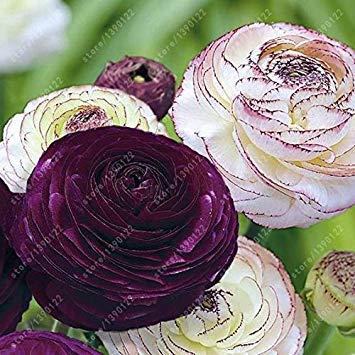 bulbos de flores de plantas en maceta encantadoras, semillas de ran/únculo bons/ái perenne planta de jard/ín con ra/íz bulbosa 1 uds Vistaric Bulbos de ran/únculo real 4