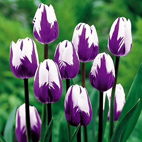 Lulan Blueberry Ripple Triumph Tulip 10 Bulbs - Exclusive! by Lulan