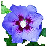 """sun loving shrubs Rose of Sharon 'Bluebird' - Hardy Hibiscus syriacus - Healthy Plants 6"""" - 12"""" Tall - 3 1/2"""" Potted Shrub - 3 Pack by Growers Solution"""