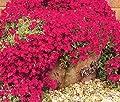 AUBRIETA ROCK CRESS CASCADE RED Aubrieta Hybrida Superbissima - 50 Seeds