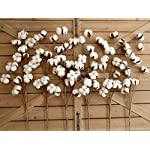 idyllic-Pack-of-6-Cotton-Stems-31-Inches-Tall-12-Cotton-Bolls-Per-Stem-Real-Elastic-Cotton-Stalk-Rustic-Floral-for-Home-Decor-Wedding-Centerpiece-Farmhouse-Style