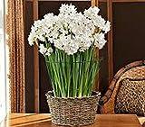 10 'Ziva' Paperwhite Flower Bulbs