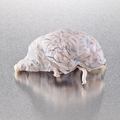 (470218-550 - Pure Preserved Sheep Brains Without Dura Matter - Ward's Pure Preserved Brains - Each)