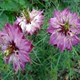 Love in a Mist- Rose- (Nigella)- 50 Seeds