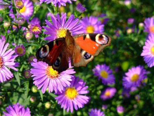 1 Packet of 500 Seeds New England Aster, Hardy Aster, and Michaelmas Daisy - Symphyotrichum Novae ()