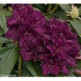Rhododendron. 2 Liter blau/violett. 1 Pflanze - zu dem Artikel bekommen Sie gratis ein Paar Handschuhe für die Gartenarbeit dazu