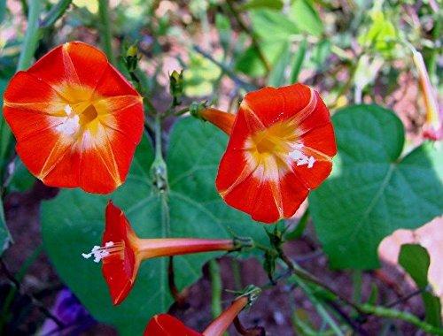 Very Rare Orange NOAH Morning Glory Vine Seeds! Hummingbirds Love IT!