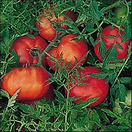 Dwarf Tomato SILVERY FIR TREE 15 Seeds Russian Heirloom Vegetable