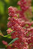 Quinoa Plant 100 Seeds- Red Head -Bright Pinkish Red Seed Heads, White Seeds.