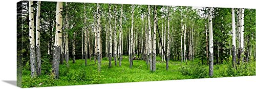 Green Aspen Trees - Canvas on Demand Premium Thick-Wrap Canvas Wall Art Print entitled Aspen trees in a forest, Banff, Banff National Park, Alberta, Canada 60