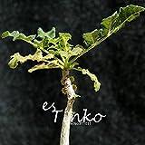 2pcs Rare Boswellia Sacra Seeds Caudex Succulent Plant Seeds Rare Flower Seeds Home Garden Bonsai Plant DIY