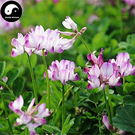 PLAT FIRM KEIM SEEDS: 150pcs: Kaufen Astragalus Sinicus Blumensamen Pflanze Lila Blume Astragalus