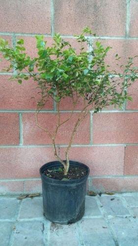 Myrciaria Cauliflora (Jaboticaba)Tropical Fruit Tree by bluestargarden168 (Image #1)