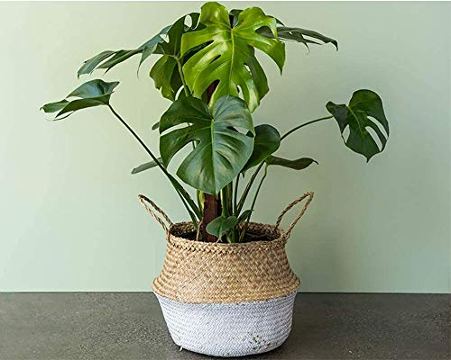 Easy-care tropical split leaf plant