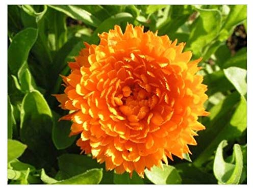 HATCHMATIC 2000 Seeds : Yarrow Non GMO Heirloom Edible Therapeutic Flower Garden Seeds Sow No GMO