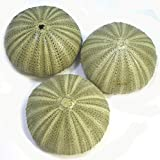 Set of 3 Large Green Sea Urchin Shells for Beach Wedding Craft Nautical Decor Airplants
