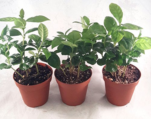 Coffee Plant Pot 4'' pot (Pack of 3) unique from jmbamboo by JM BAMBOO (Image #2)'