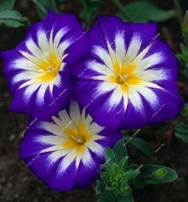 Amazon com : 20 Pcs Creeping Morning Glory Seeds Balcony & Courtyard