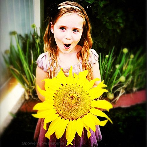 GIANT SUNFLOWER Seeds - HUGE Sunflowers 50+ Seeds (Best Time To Plant Sunflower Seeds)