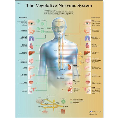 (3B Scientific VR1610L Glossy Laminated Paper The Vegetative Nervous System Anatomical Chart, Poster Size 20