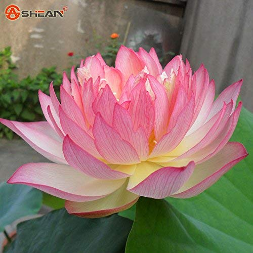 (Hot Sale!!! 30pcs/bag Pink Bowl Lotus Garden Plants Potted Flowers Seed Water Lily Seeds Flowering Plants)
