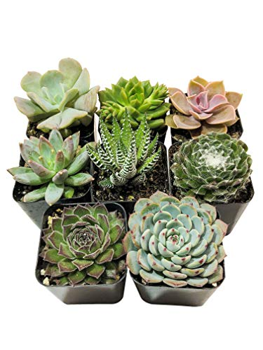Real Live Succulent Plants (5 Pack), Fully Rooted in Planter Pots with Soil - Unique Indoor Cactus Decor by The Succulent Cult by The Succulent Cult (Image #4)