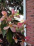 """Pink """"Angel Falls"""" Tuberous Begonia Seeds HANGING BASKET PLANT"""