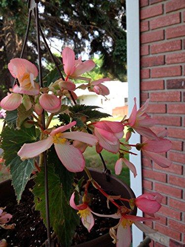 Begonias Tuberous Plant (Pink