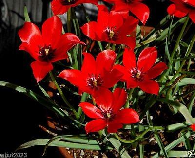 10 Tulip Linifolia, RED Species Tulip Bulbs,Naturalizer,Rock gardens, small displays