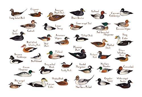 Ducks of North America Field Guide Art Print ()