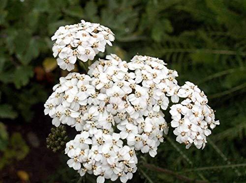 Potseed Germination Seeds: 10,000 White Yarrow Achillea Millefolium Flower Herb Seeds