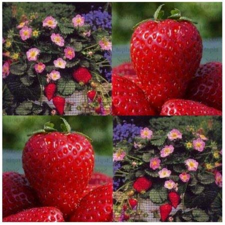 25 Seeds Fragissimo Pink Strawberry by Azaina_pgs (Image #2)
