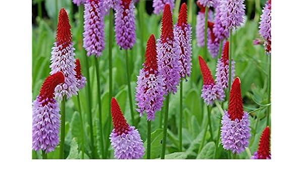 EASY EXOTIC UNIQUE PRIMULA VIALII PRIMROSE FLOWER SEEDS 25 HARDY