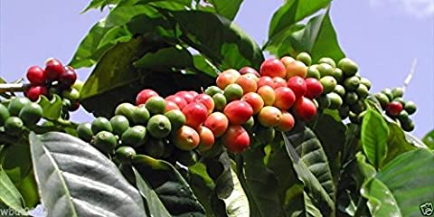 10 Coffea Plant Seeds (JAMAICAN BLUE MOUNTAIN Coffee) Grow Your Own Coffee tree!