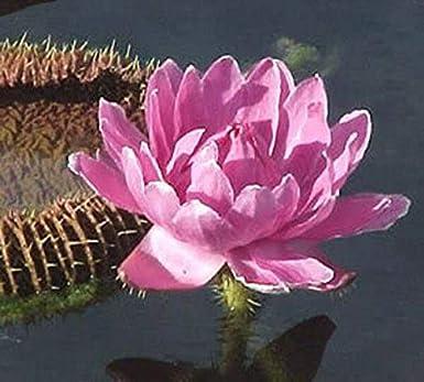 Las semillas orgánicas: Lirio de agua Victoria Amazónica ...