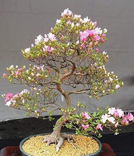 Amazon Com 10 Japanese Cherry Blossom Bonsai Seeds Flowering Sakura Bonsai Seeds Garden Outdoor