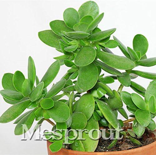 Semillas 20PCS Bonsai Crassula ovata Bonsai árbol. Raros japoneses Crassula ovata Semillas Balcón Plantas para jardín: Amazon.es: Jardín