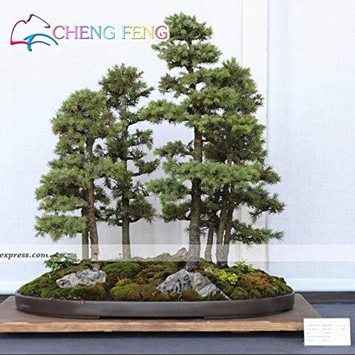 Japanese Blue Spruce Plants   Picea Tree Potted Bonsai   Courtyard Garden Bonsai Plant   Pine Tree Perennia Plants (100pcs)