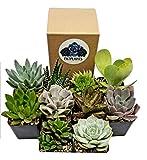 Fat Plants San Diego 2 inch Premium Succulent Plants in Pots (9)
