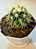 LAMINATED 24x31 Poster: Golden Ball Echinocactus Golden Ball Cactus Cactus Plant Natural Blossom Botanical Organic Stem Botany Herb Agriculture Horticulture Vegetation