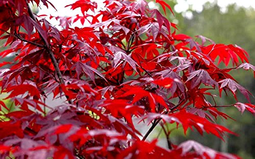 Japanese Red Maple Tree (2-3 feet tall} by Japanese Maples and Evergreens (Image #2)