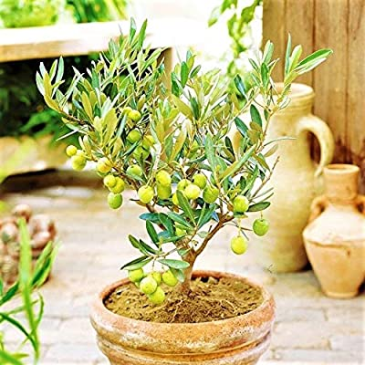 10 pcs Rare Mini Olive Bonsai Tree (Olea europaeseeds Home Decor Bonsai Pot: Garden & Outdoor